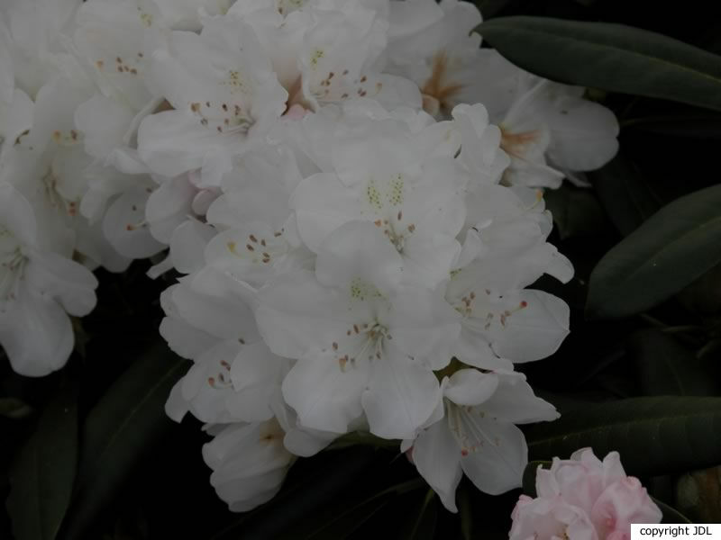 Rhododendron 'Mountain Marriage' (R. maximum × R. yakushimanum)