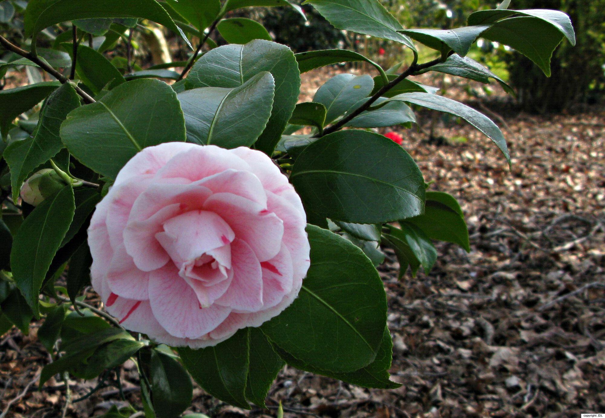 Camellia japonica L. 'Bonomiana'