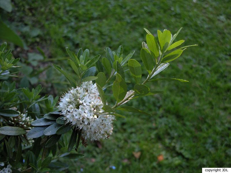 Rhododendron micranthum Turcz.