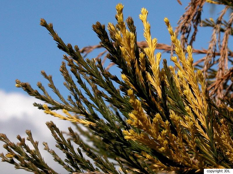 Sequoiadendron giganteum (Lindl.) J.Buchholz 'Variegatum'