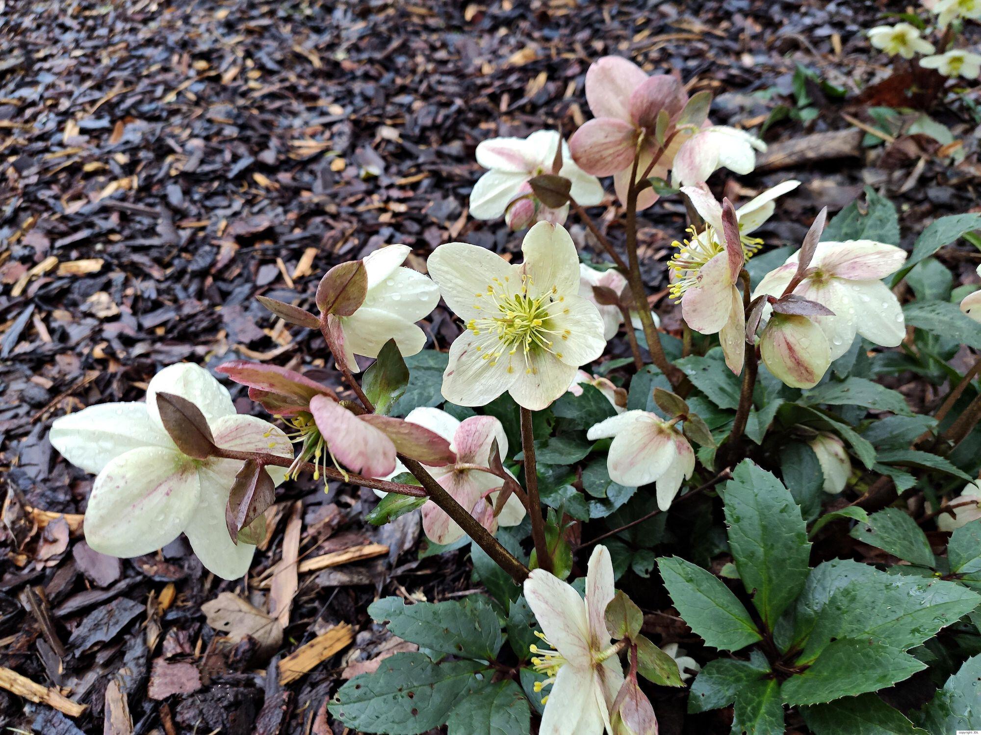 Helleborus ×ballardiae B.Mathew 'Candy Love'