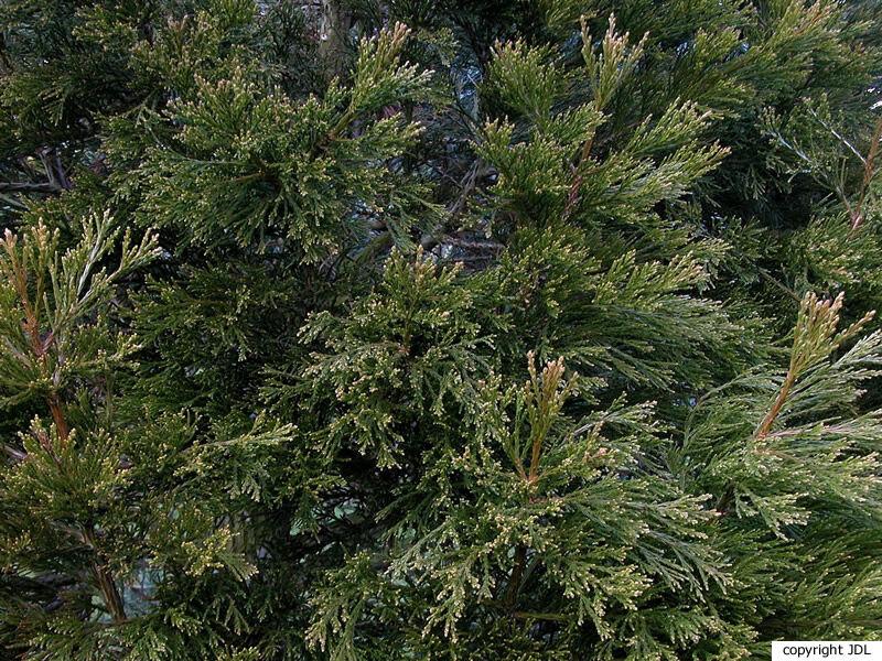 Sequoiadendron giganteum (Lindl.) J.Buchholz 'Greenpeace'