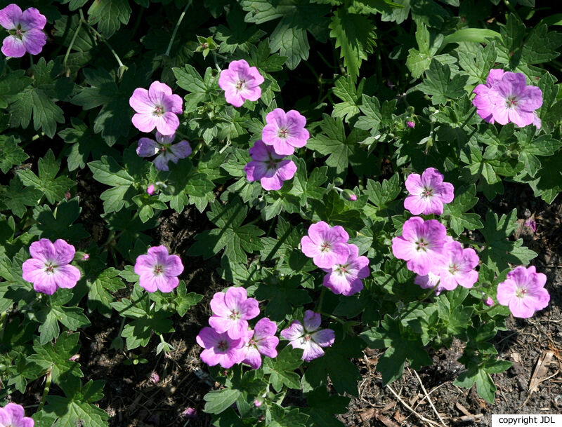 Geranium ×riversleaianum Yeo 'Mavis Simpson' (G. endressii × G. traversii)