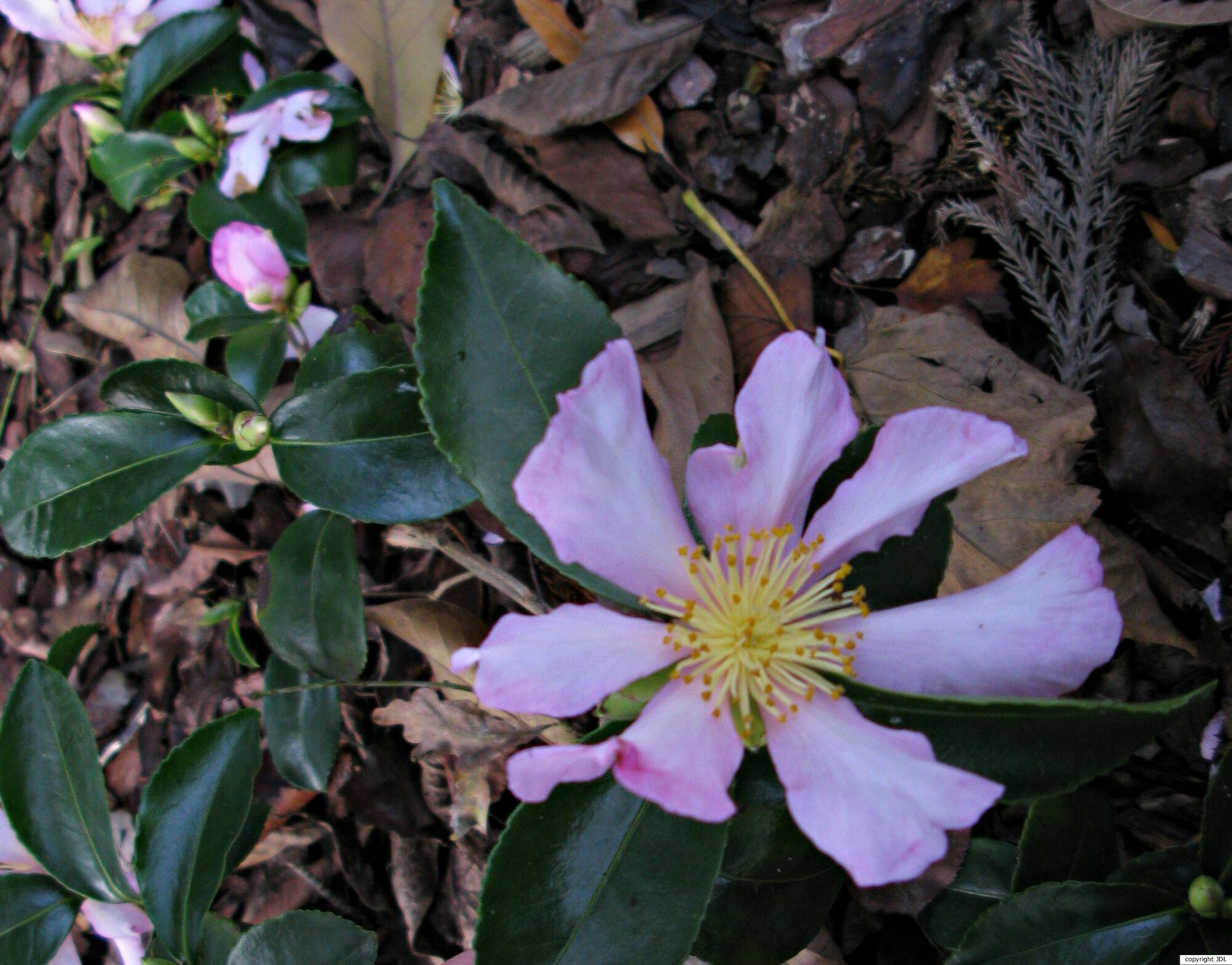 Camellia sasanqua Thunb. 'Briar'