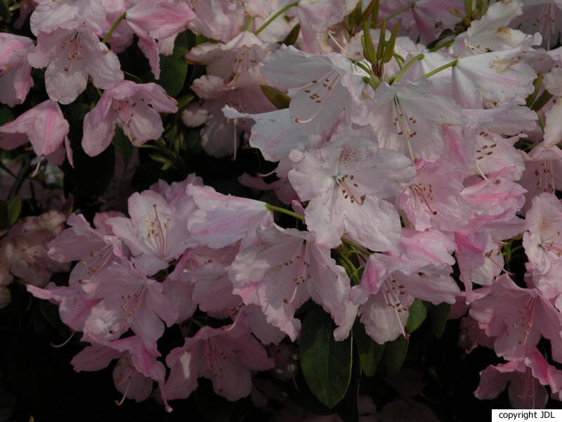Rhododendron 'Osmar' (R. williamsianum hybr.)