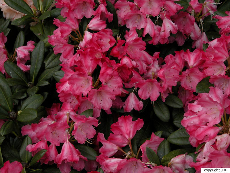 Rhododendron 'Morgenrot' (R. yakushimanum 'Koichiro Wada'  × R. 'Spitfire')