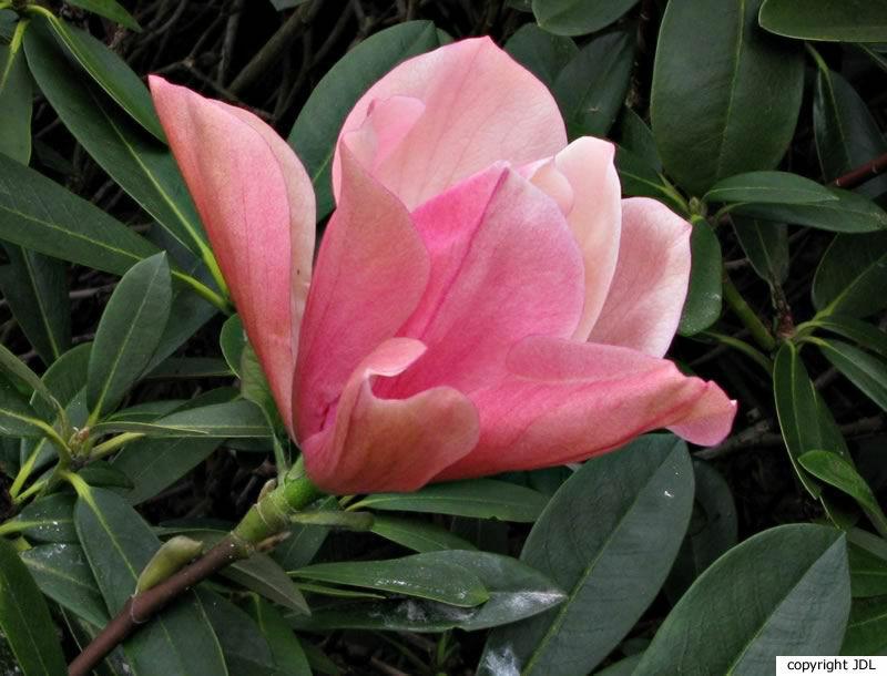 Magnolia 'Flamingo' (M. acuminata 'Fertile Myrtle' × M. sprengeri 'Diva')