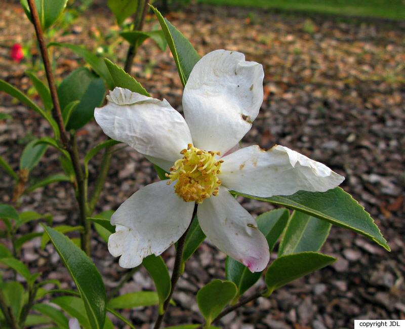 Camellia 'Survivor' (Parks) (C. sasanqua × C. oleifera)