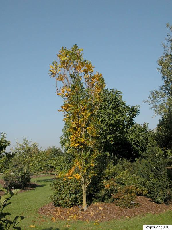 Koelreuteria paniculata Laxm. 'Fastigiata'