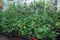 kwekerij camellia in Het Leen