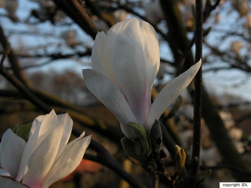 Magnolia ×soulangeana Soul.-Bod. 'Speciosa' (M.denudata × M.liliiflora)