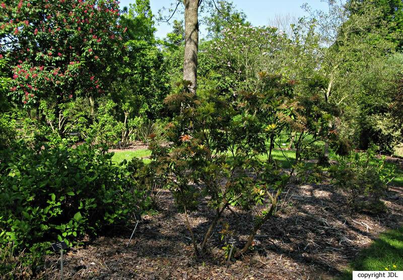 Pieris 'Forrest Flame' (P. formosa 'Wakehurst' × P. japonica)