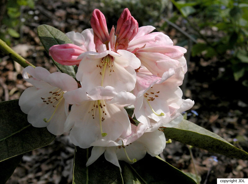 Rhododendron 'China' (R. wightii × R. fortunei)