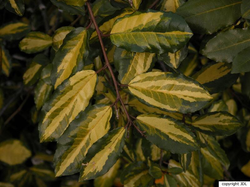 Elaeagnus pungens Thunb. 'Maculata'