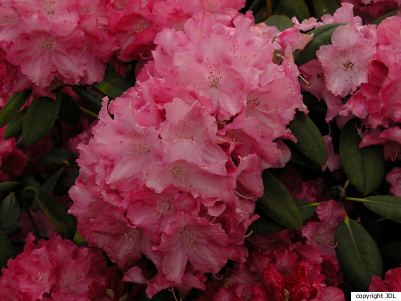 Rhododendron 'Heinje's Venezia' (R. 'Cynthia' × R. yakushimanum 'Koichiro Wada')