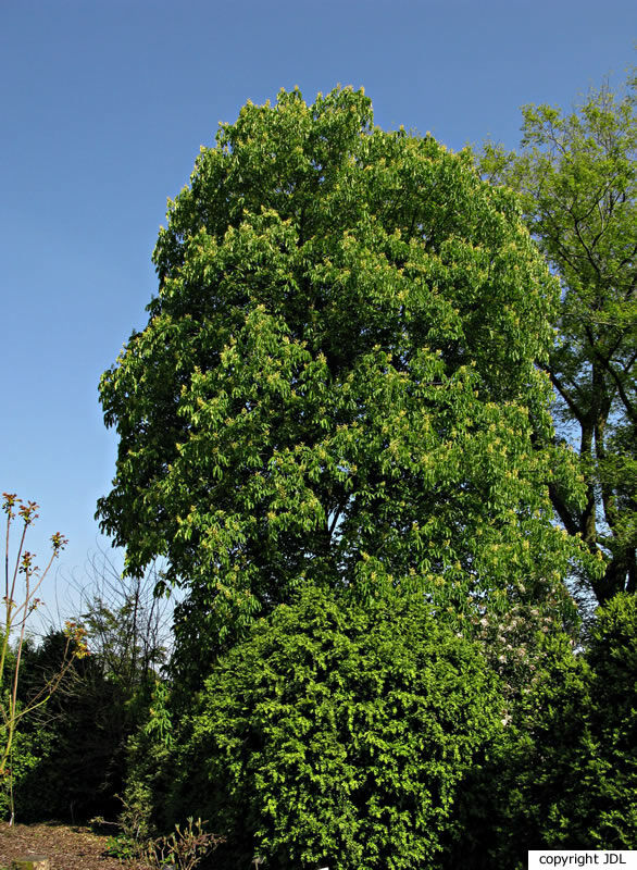 Aesculus flava Soland.