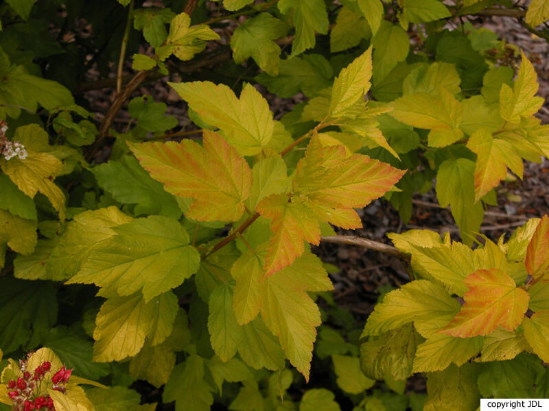 Physocarpus opulifolius (L.) Maxim. 'Dart's Gold'