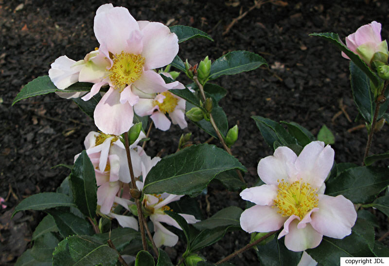 Camellia sasanqua Thunb. 'Misty Moon'