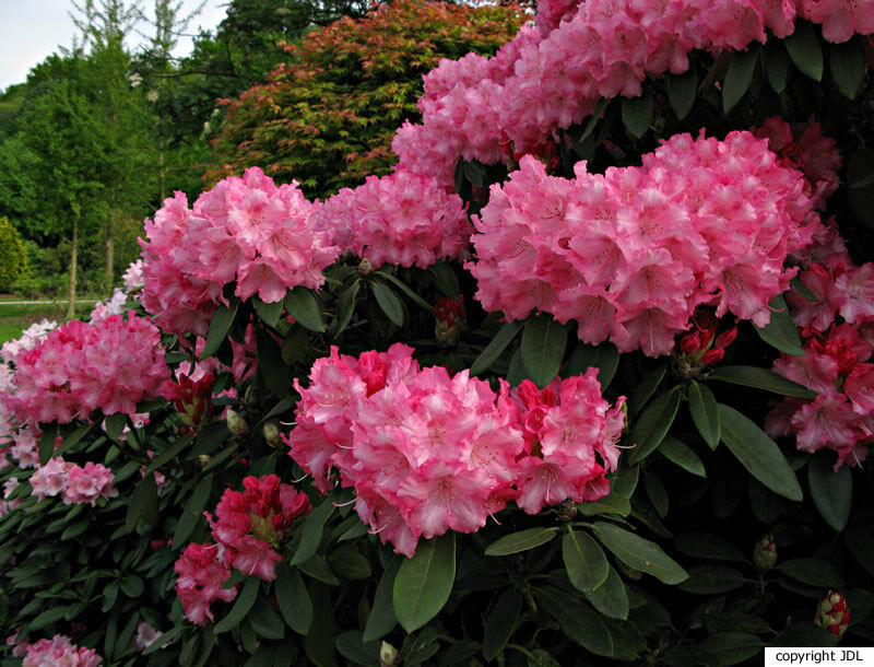 Rhododendron 'Hachmann's Marlis' (R. 'Mars' × R. yakushimanum 'Koichiro Wada')