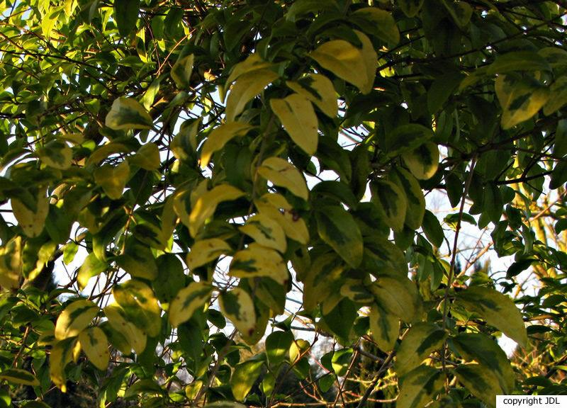 Ligustrum ovalifolium Hassk. 'Lemon and Lime'