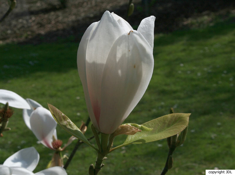 Magnolia 'Moondance' (M. ×soulangeana × (M. ×veitchii))