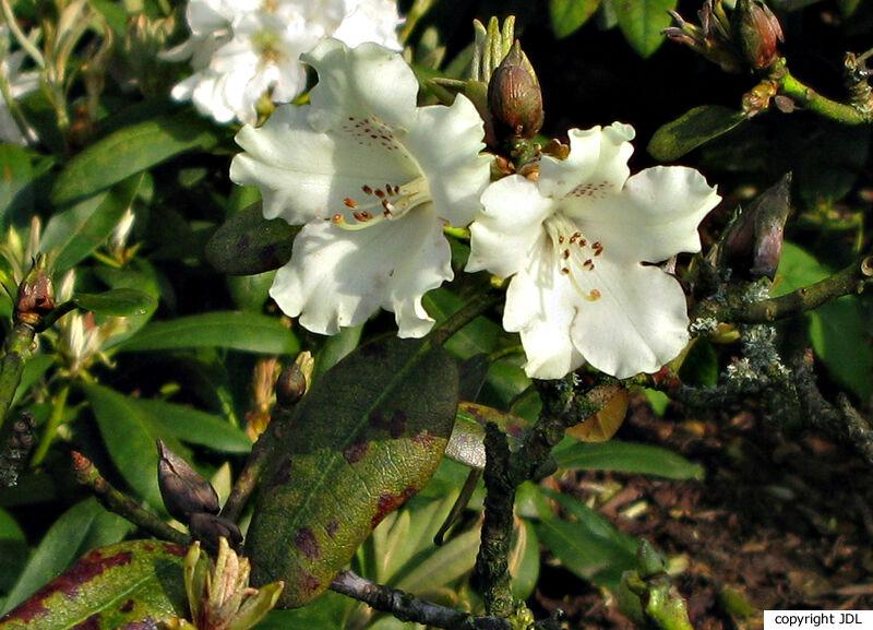 Rhododendron 'Marietta' (R. 'Tosca' × R. yakushimanum 'Koichiro Wada')