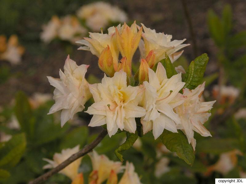 Rhododendron 'Racine' (Harde Gentse/Rustica)