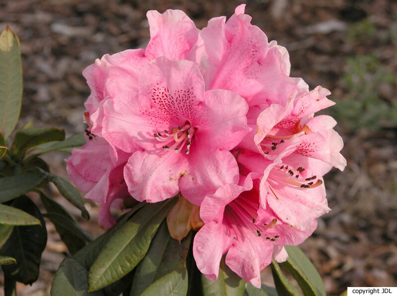 Rhododendron 'Armantine' (Calomina Group)