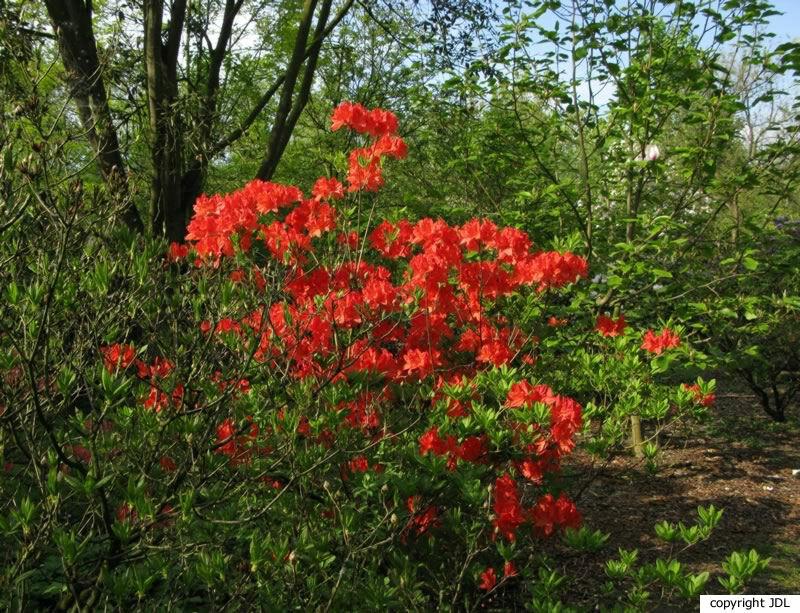 Rhododendron 'Von Gneist' (R. molle hybrid)