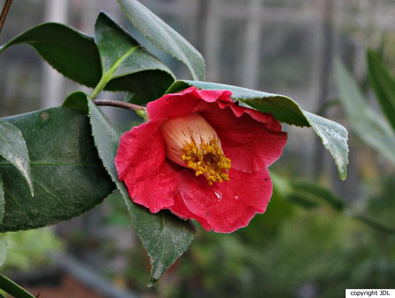 Camellia japonica L. 'Cathelineau'