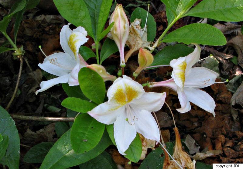 Rhododendron 'Bridesmaid' (R. occidentale hybrid)