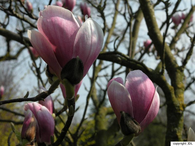 Magnolia ×soulangeana Soul.-Bod. 'Alexandrina' (M. denudata × M. liliiflora)
