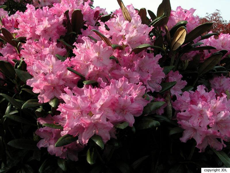 Rhododendron smirnowii Trautv. 'Glanz'