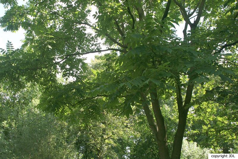 Juglans ailantifolia Carrière