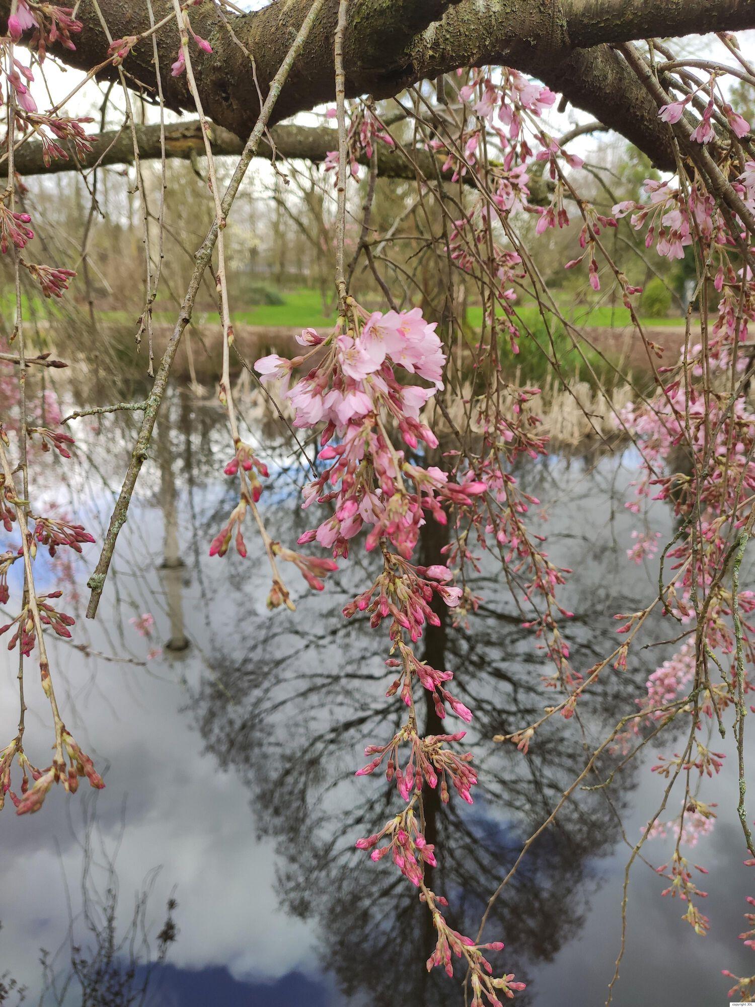 Prunus subhirtella Miq. 'Pendula Rubra'