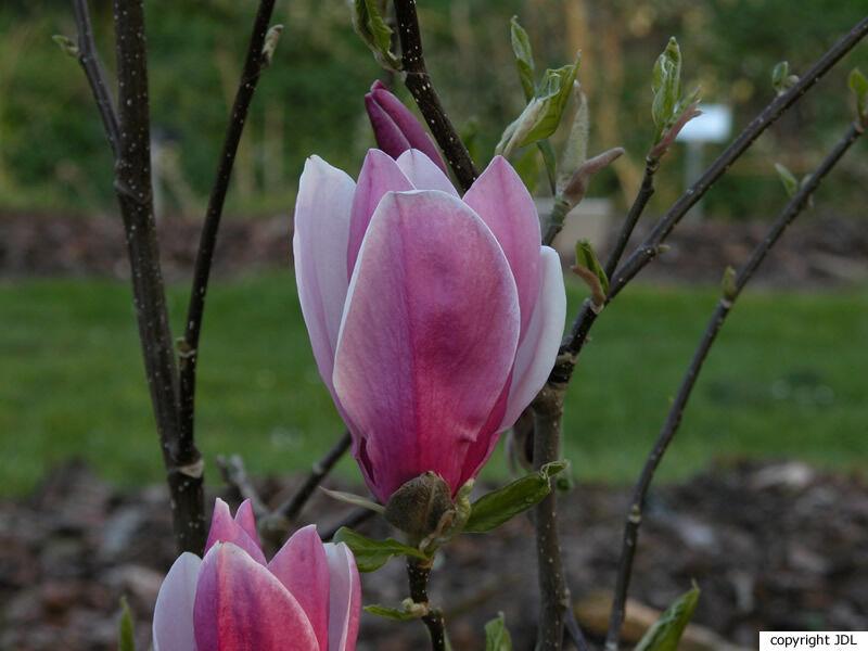 Magnolia liliiflora Desr. 'Angustifolia'