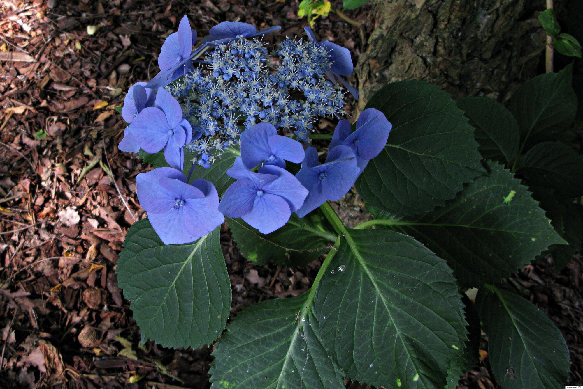 Hydrangea macrophylla (Thunb.) Ser. 'Blue Sky'
