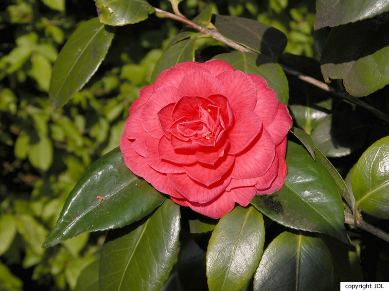 Camellia japonica L. 'Cultivar'