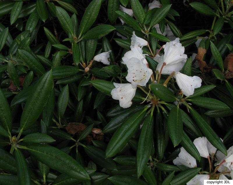 Rhododendron yakushimanum Nakai 'Yaku Prince' × R. pseudochrysanthum