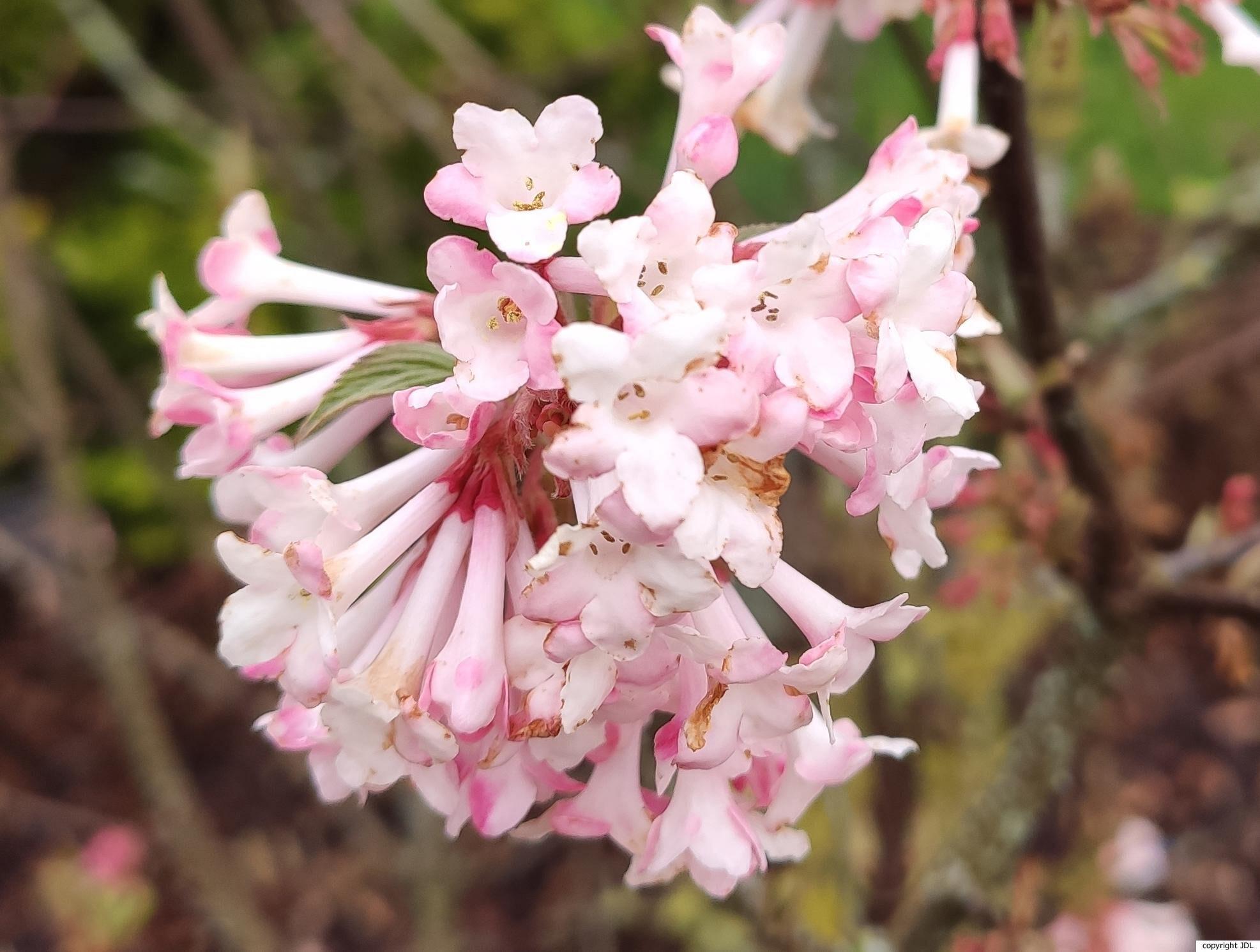 Viburnum ×bodnantense Stearn 'Charles Lamont'