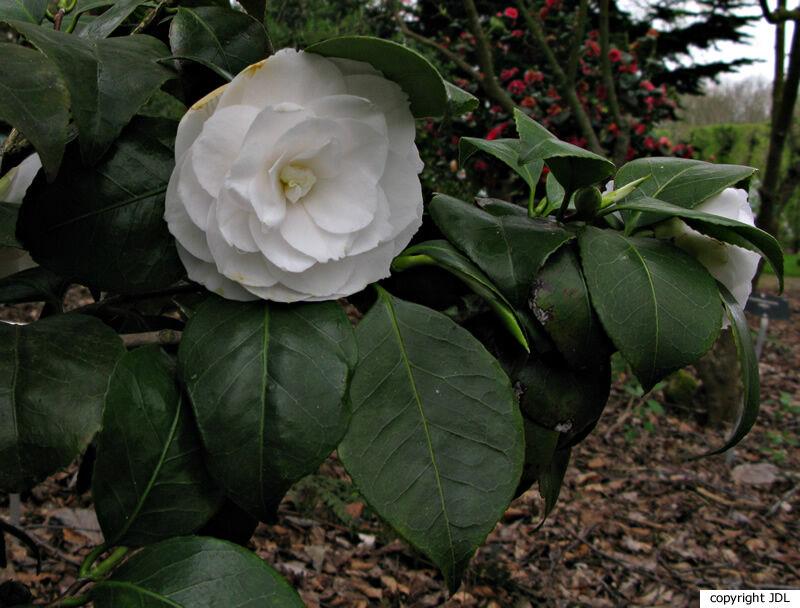 Camellia japonica L. 'Montironi'