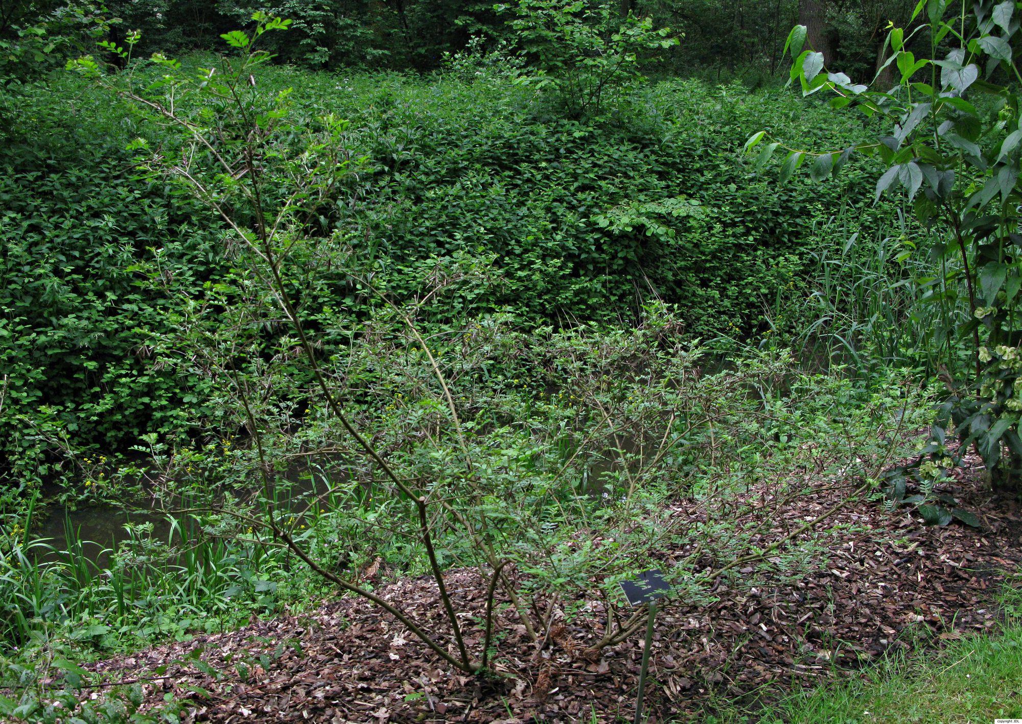 Indigofera australis Willd.