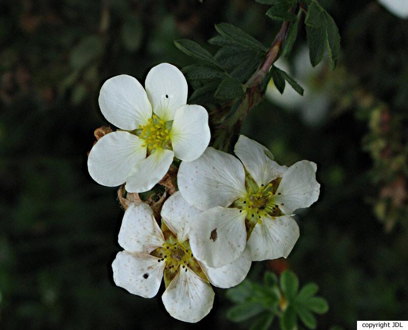 Potentilla fruticosa L. 'Veitchii'