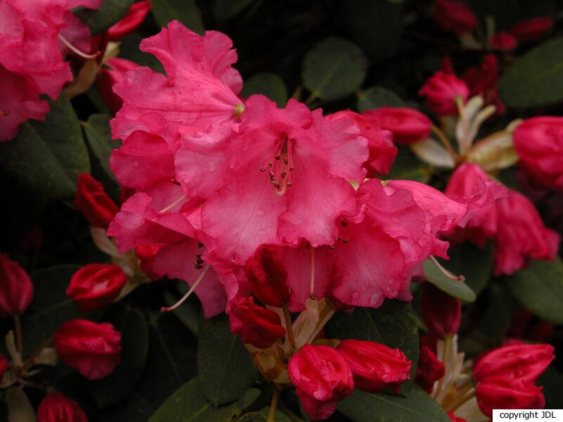 Rhododendron 'Linda' (R. 'Britannia' × R. williamsianum)