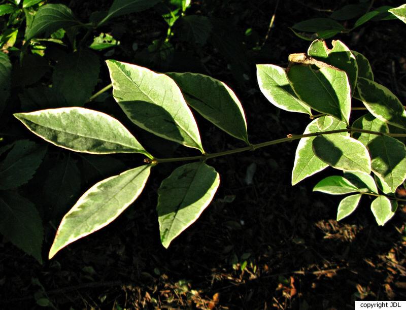 Ligustrum ovalifolium Hassk. 'Argenteum'