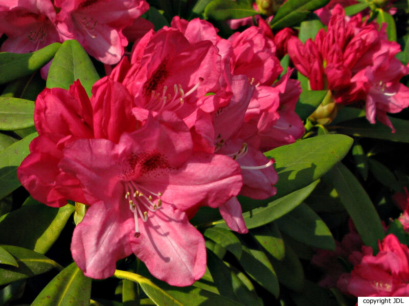 Rhododendron 'Sneezy' (R. yakushimanum × R. 'Doncaster')