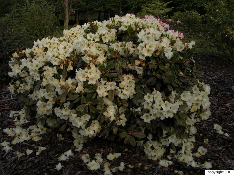 Rhododendron 'Odee Wright' (R. Idealist Group × R. 'Mrs. Betty Robertson')
