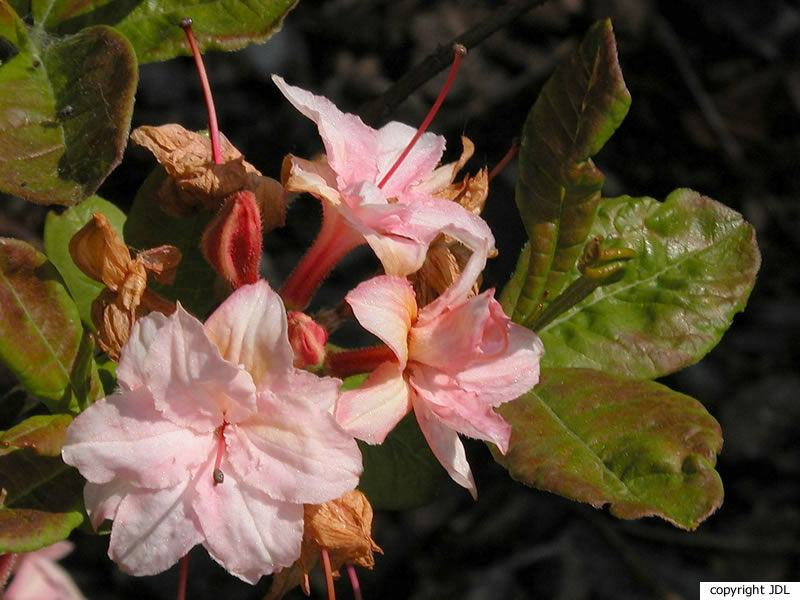 Rhododendron 'Quentin Metsys' (Harde Gentse/Rustica)