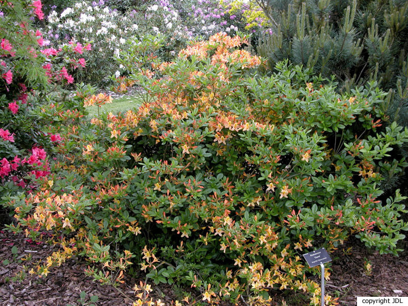 Rhododendron 'Chanel' (R. viscosum hybrid)