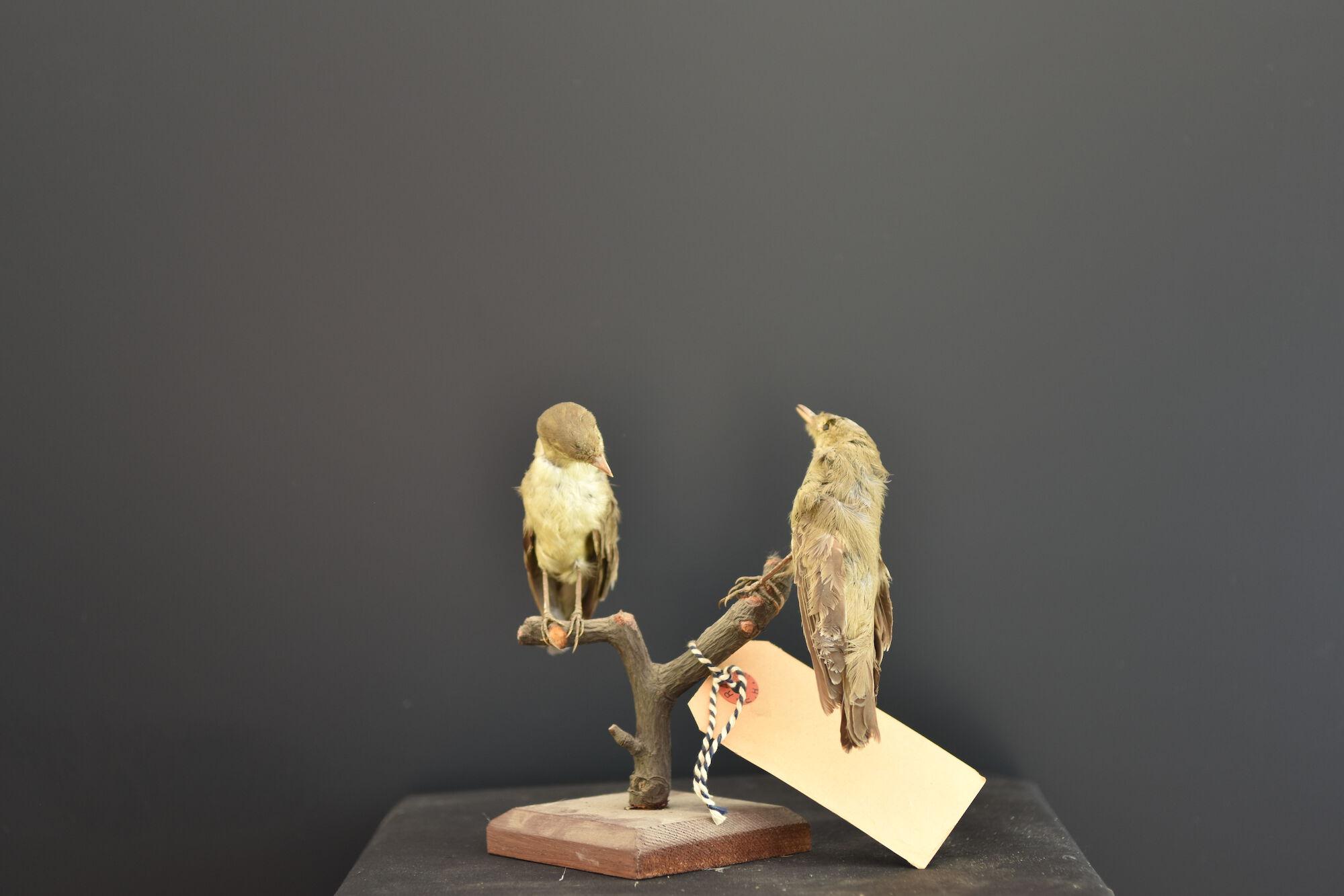 Opgezette Spotvogels